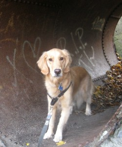 Honey the Golden Retriever is the light at the end of the tunnel.