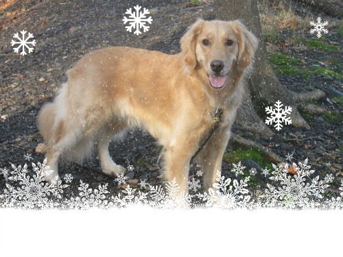 Honey the Golden Retriever stands in snow, thanks to PicMonkey.