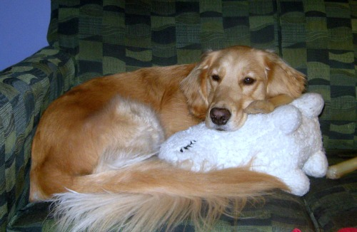Honey the Golden Retriever with her favorite things.