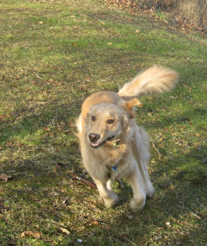 Honey the Golden Retriever carries a stick.