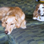Honey the Golden Retriever and Layla the foster dog relax at home.