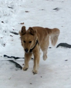 Honey the Golden Retriever runs in the snow.