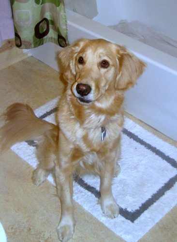 Honey the Golden Retriever sits in front of the tub.