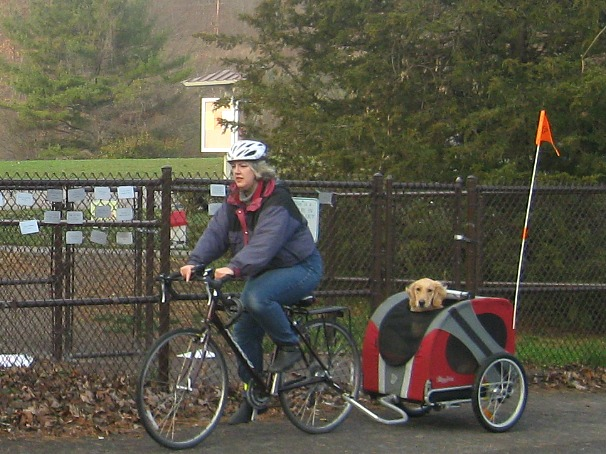 Honey the Golden Retriever rides in her bike cart.