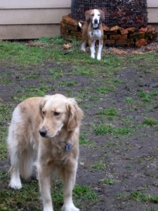 Honey the Golden Retriever with foster dog Layla.