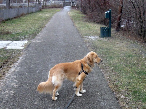 Honey the Golden Retriever walks near Cascadilla Creek.