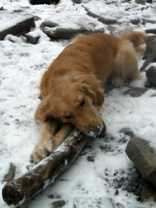 Honey the Golden Retriever chews a stick at the Ithaca Falls.