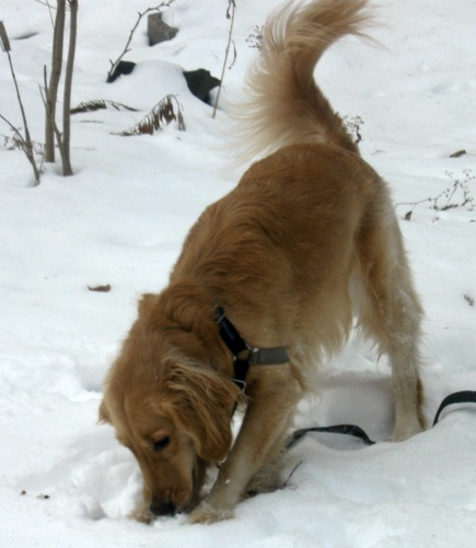 Honey the golden retriever from Something Wagging This Way Comes makes snow angels.
