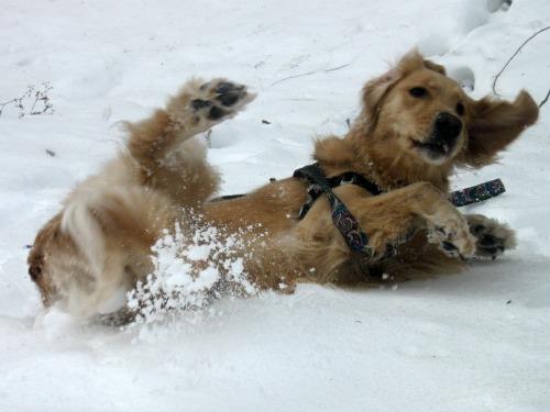 Honey the Golden Retriever rolls in snow.