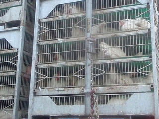 Chickens from a factory farm.