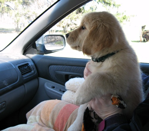 Honey the Golden Retriever Comes home in the subaru.