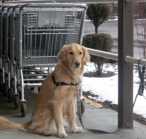 Honey the Golden Retriever sits at the store.