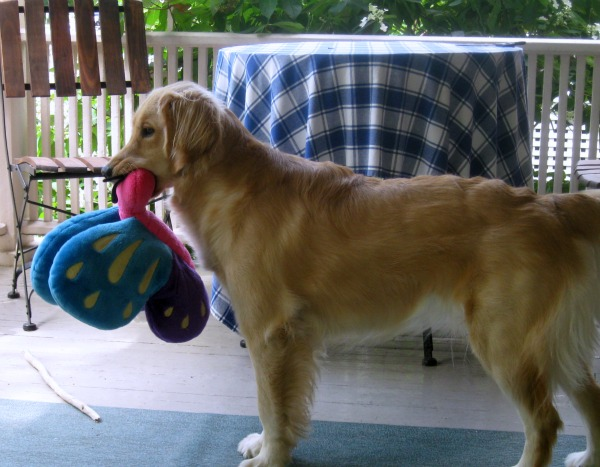 Honey stands on the porch with her toy.