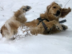 Honey the Golden Retriever rolls in the snow at Ithaca falls.