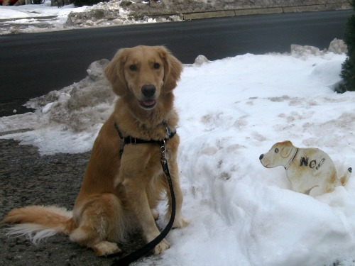 Honey the Golden Retriever posing with an anti dog poop sign.