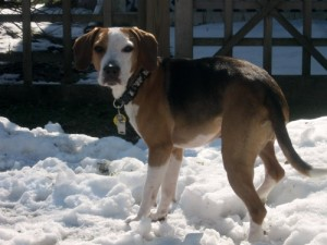 Layla the foster beagle in the snow.