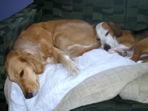 Honey the Golden Retriever sleeping with Layla the beagle.