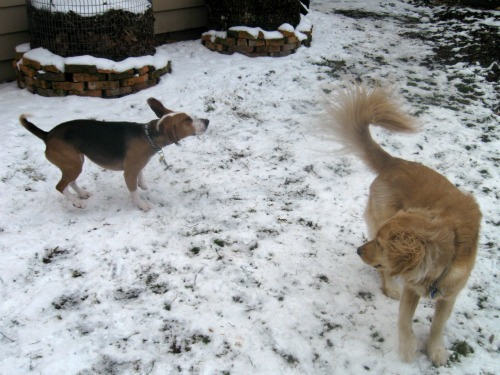 Honey the Golden Retriever plays with Layla the foster beagle.