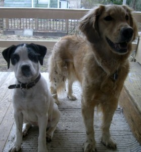 Bandit the Foster Puppy and Honey the Golden Retriever wait patiently at the back door.