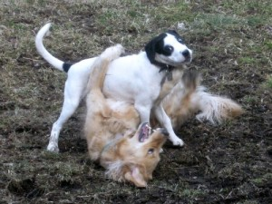 Honey the Golden Retriever wrestles with Bandit the foster puppy.