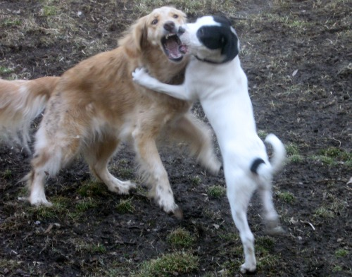 Honey the Golden Retriever plays bitey face with Bandit the foster puppy.