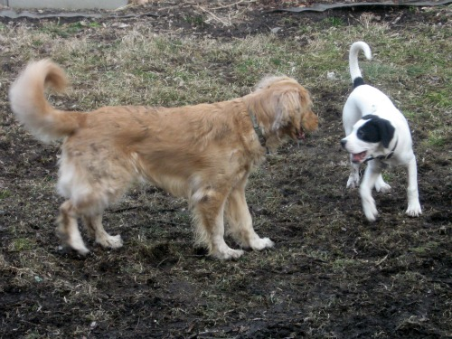 Honey the Golden Retriever stares down Bandit the foster puppy.