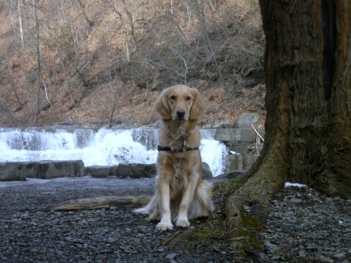 Posing Honey the Golden Retriever in front of smaller falls at Taughannock State Park.