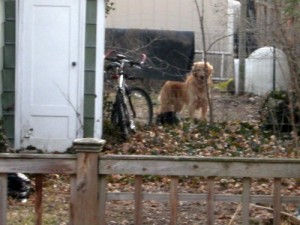 Riley the Golden Retriever in his yard.