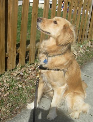 Honey the Golden Retriever sniffs out a neighbor dog.