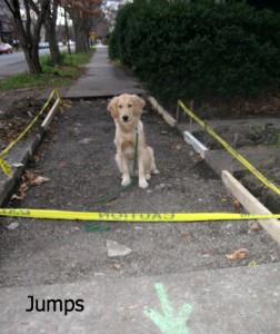 Honey the Golden Retriever considers a jump at a construction site.