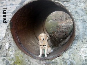 Honey the Golden Retriever poses in a tunnel.