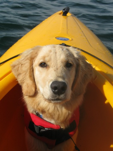 Honey the Golden Retriever rides in a kayak.