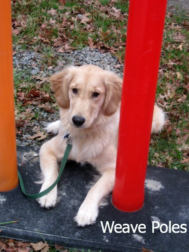 Honey the Golden Retriever worries about the weave poles.