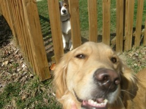 Honey the Golden Retriever loves her Corgi neighbor.
