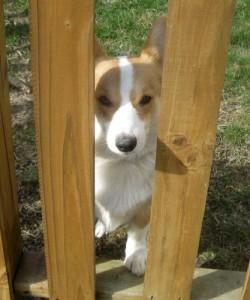 Corgi peers out through the fence.