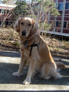 Honey the Golden Retriever sits and stays.