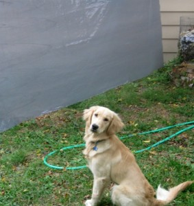 Honey the Golden Retriever practices being calm near a blowing tarp.