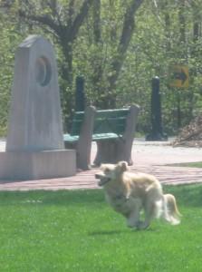 Honey the Golden Retriever runs in a blur at Conley Park.