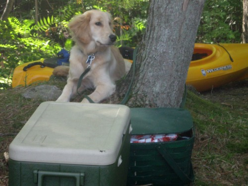 Honey the Golden Retriever goes camping.