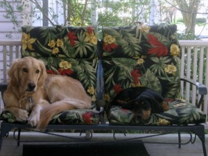 Honey the Golden Retriever and Sally the Basset Hound foster puppy relax.