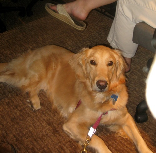 Honey the Golden Retriever rests at BlogPaws.