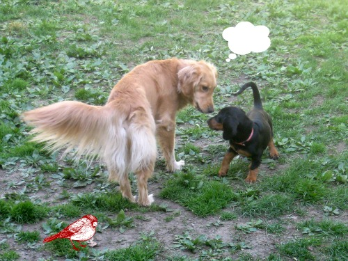 Honey the Golden Retriever gives advice to Sally the Basset Hound foster puppy.