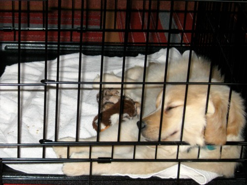 Honey the Golden Retriever naps in her crate at 8 weeks old.