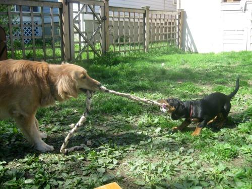 Honey the Golden Retriever plays tug with the Basset Hound foster puppy plays tug with Honey the Golden Retriever.