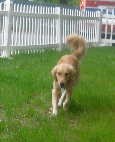 Honey the Golden Retriever is on the run.