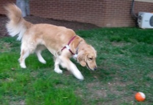 Honey the Golden Retriever stalks the orange ball.