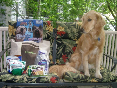 Honey the Golden Retriever admires BlogPaws swag.