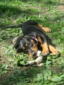 Basset Hound foster puppy has no name.
