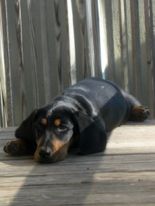 Sally is a basset hound foster puppy.