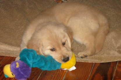 Honey the Golden Retriever is a puppy chewing on her toy.